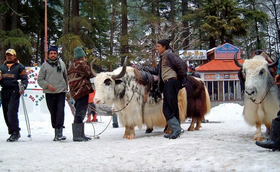 yak-rides-solang-valley-manali